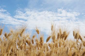 小麦について
