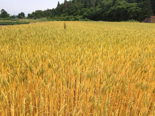 新潟県産小麦