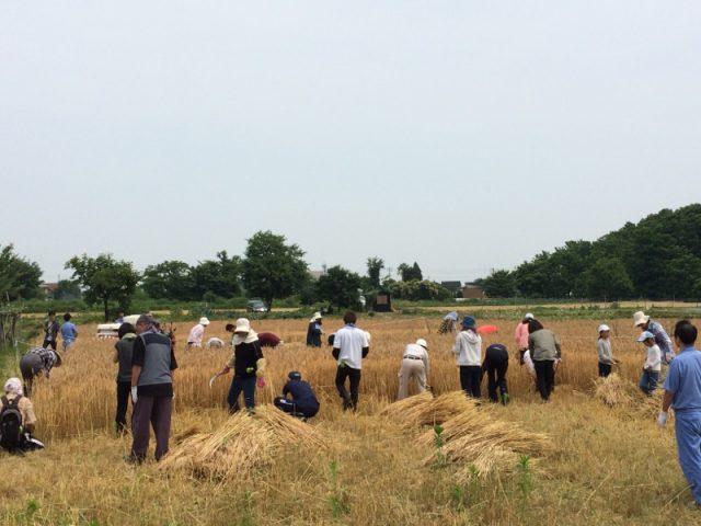 小麦の収穫2