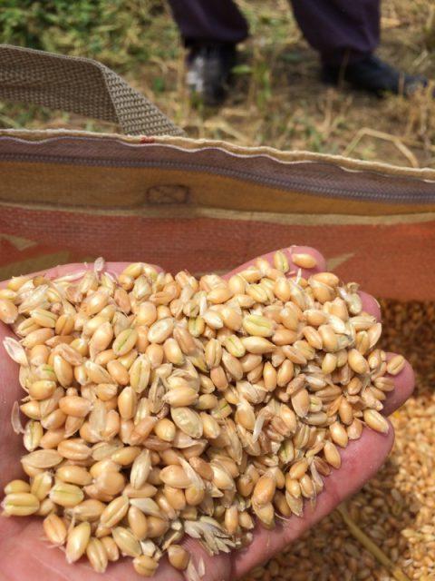 脱穀後の小麦